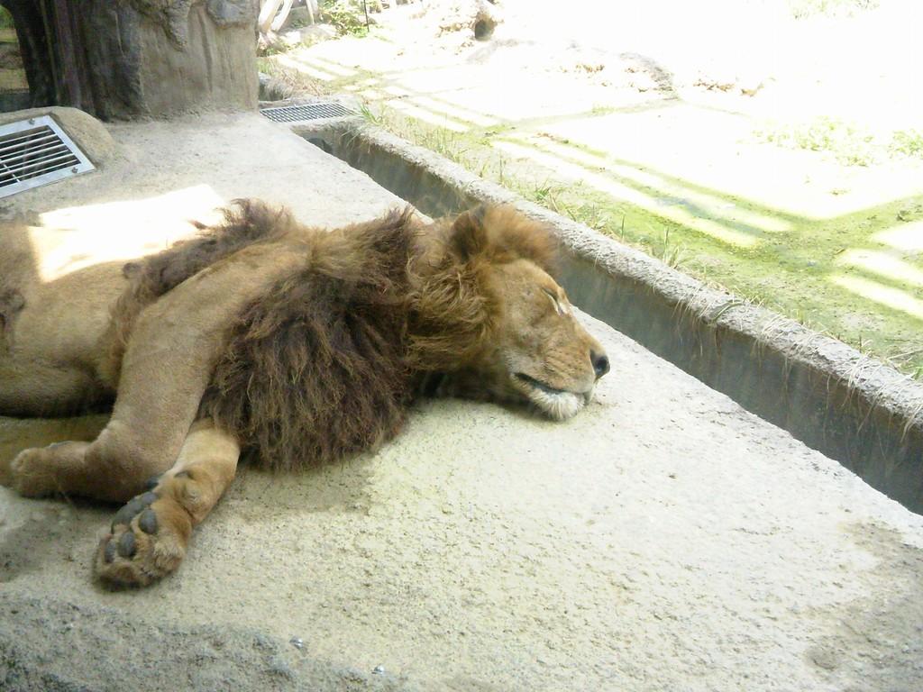 日本平動物園 ライオン1