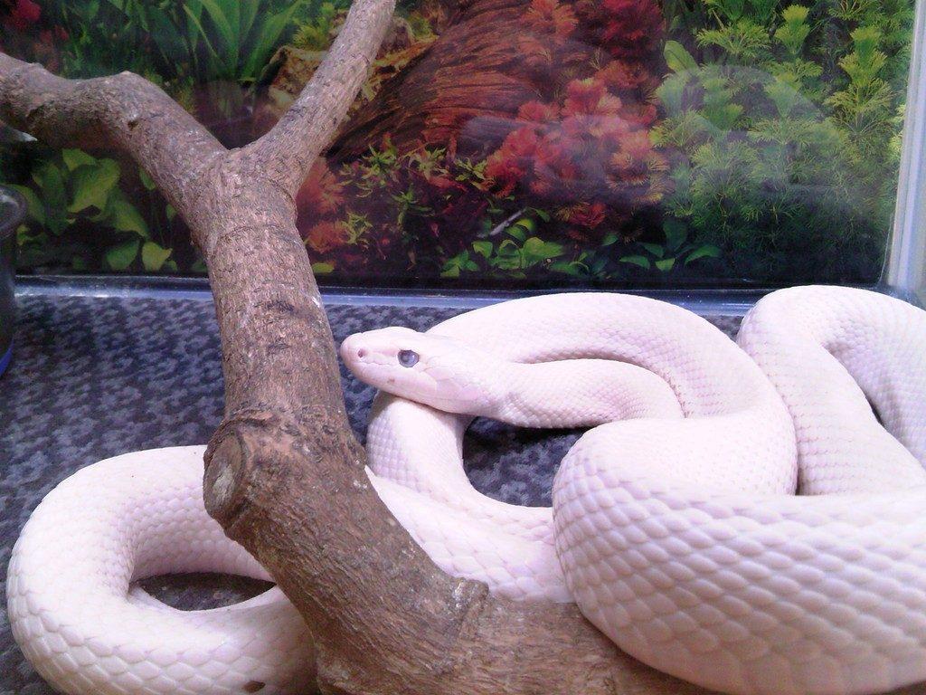 日本平動物園 は虫類館 リューシスティックテキサスラットスネーク
