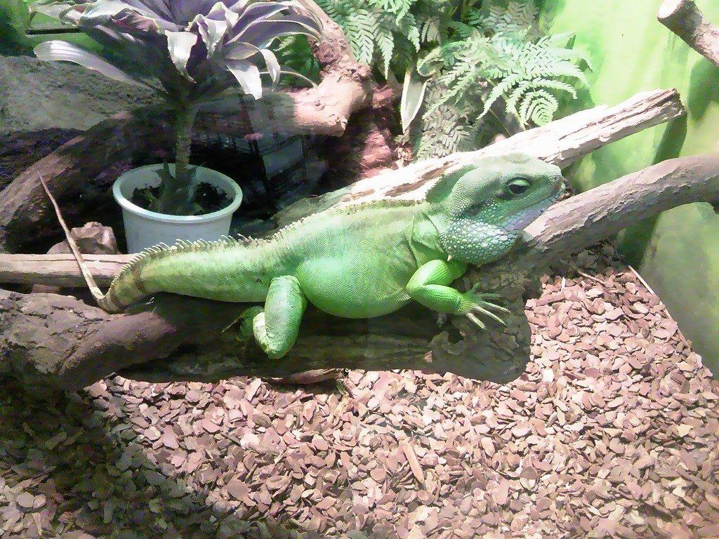 日本平動物園 は虫類館 インドシナウォータードラゴン