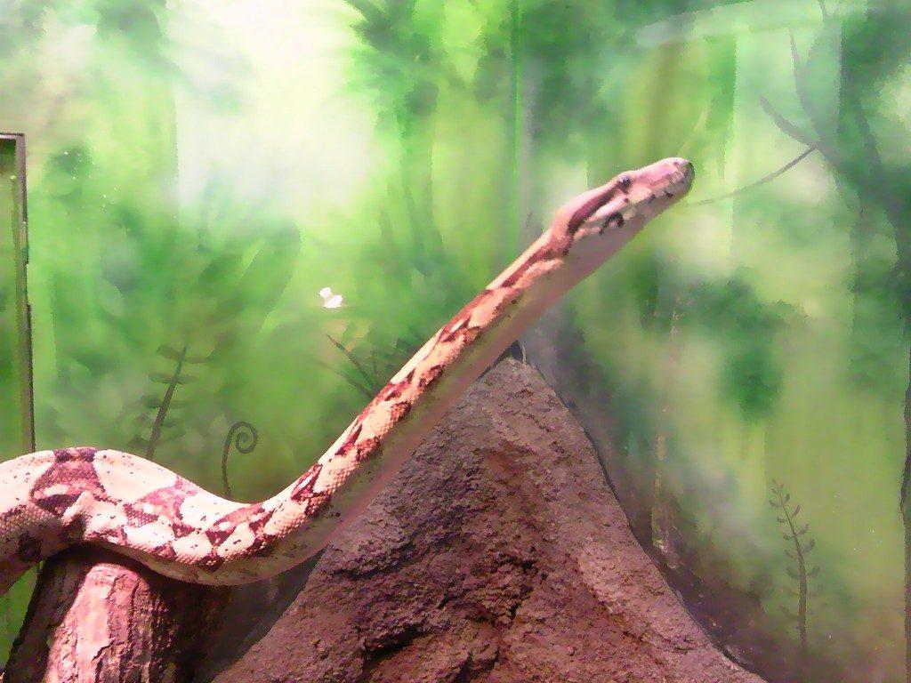 日本平動物園 は虫類館 ボアコンストリクター3
