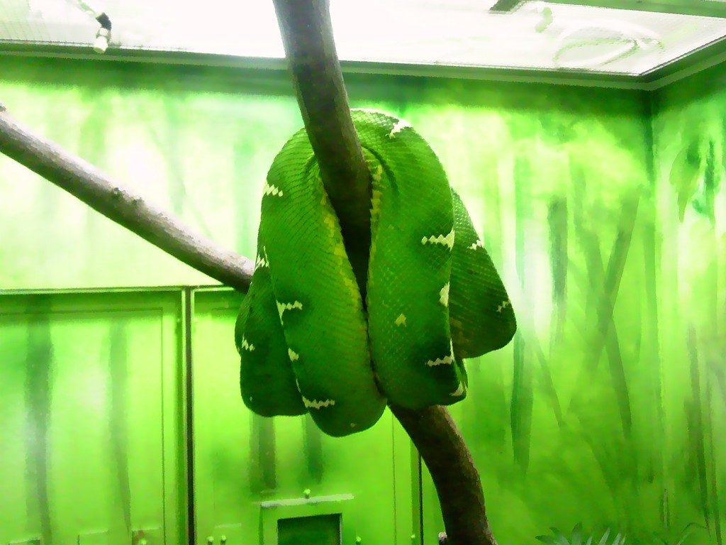日本平動物園 は虫類館 エメラルドツリーボア