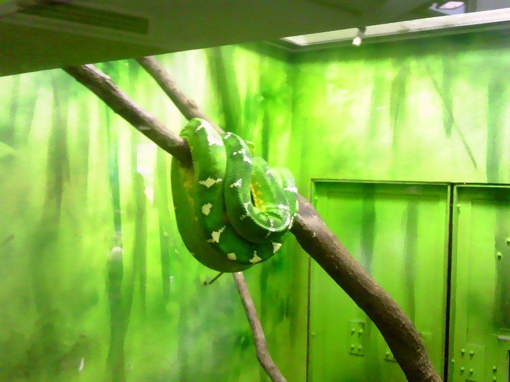 日本平動物園 は虫類館 エメラルドツリーボア2