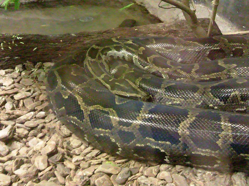 日本平動物園 は虫類館 ビルマニシキヘビ