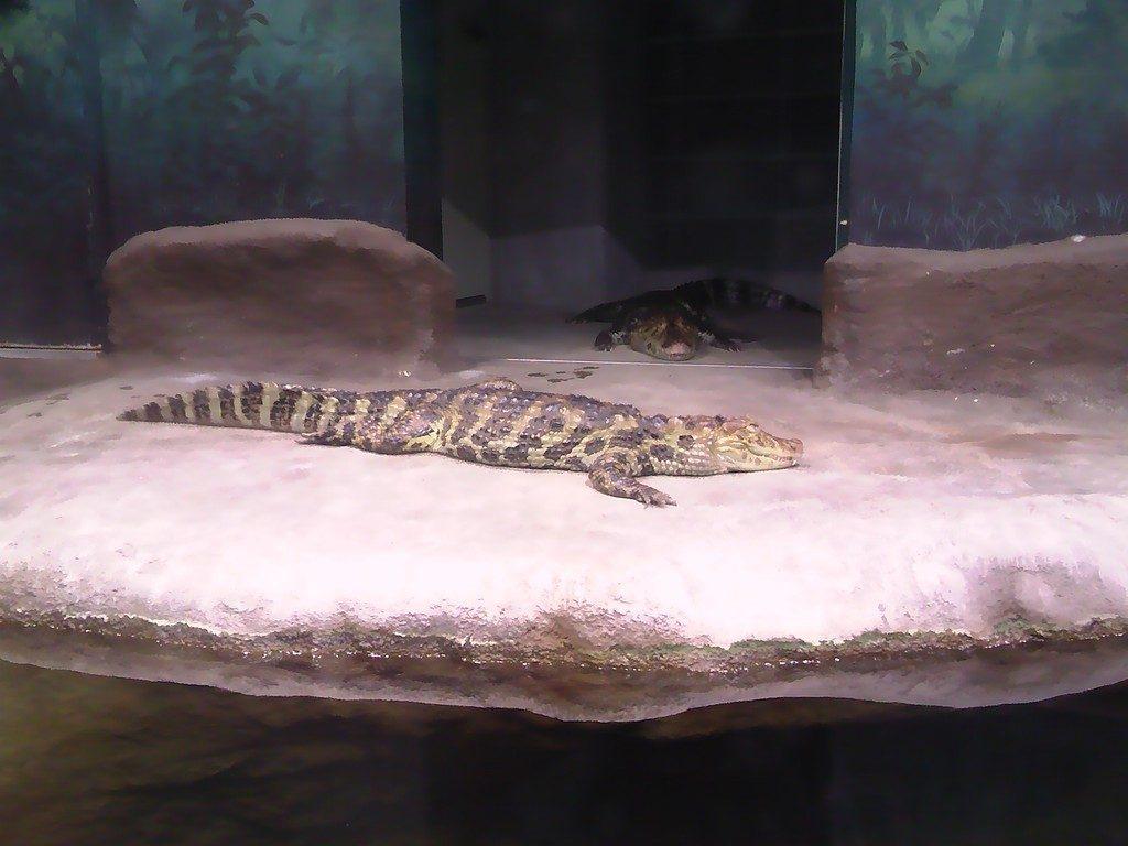 日本平動物園 は虫類館 クチヒロカイマン