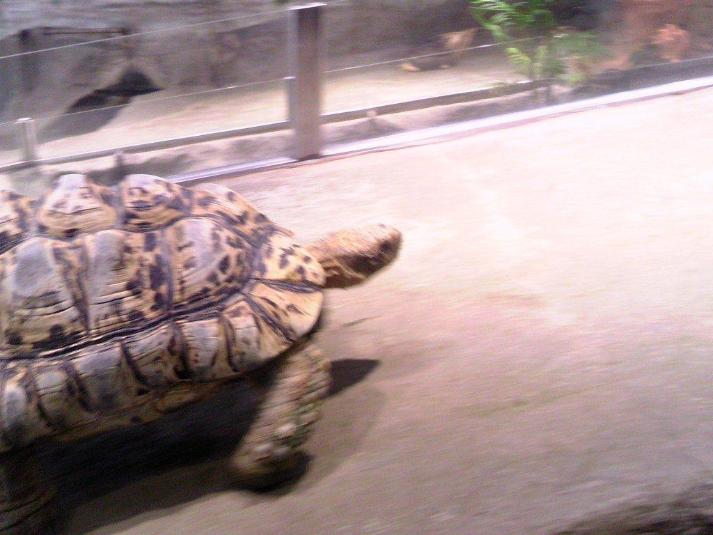 日本平動物園 は虫類館 ヒョウモンリクガメ2