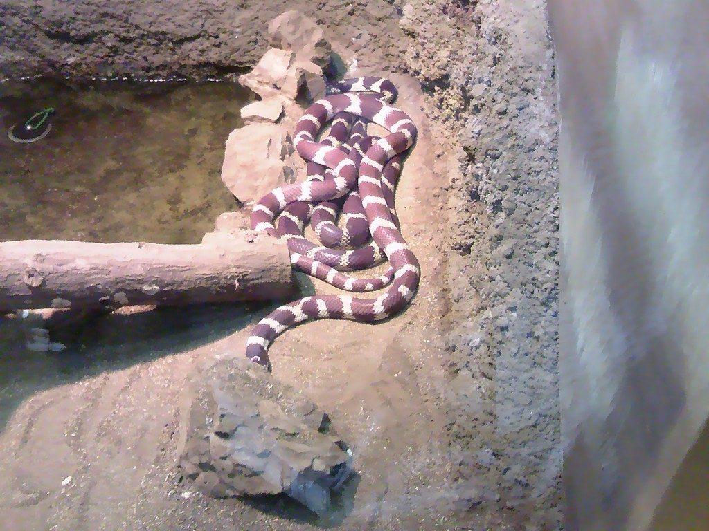 日本平動物園 は虫類館 カリフォルニアキングヘビ