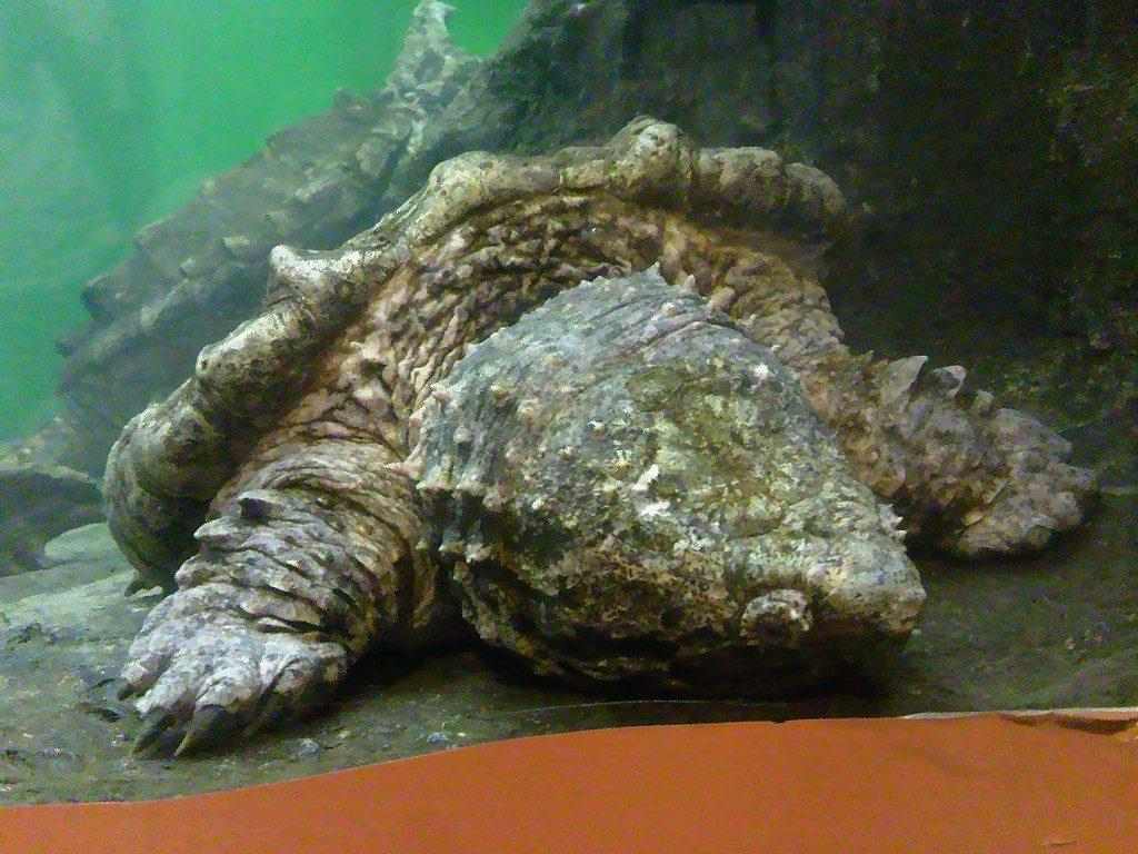 日本平動物園 は虫類館 ワニガメ2