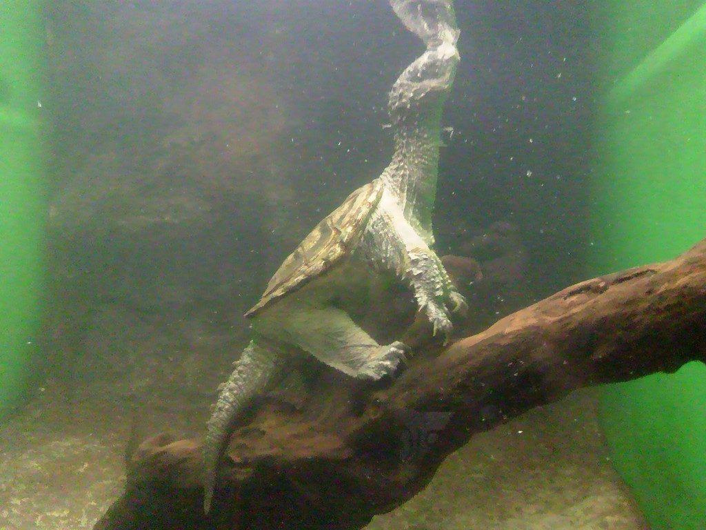 日本平動物園 は虫類館 カミツキガメ