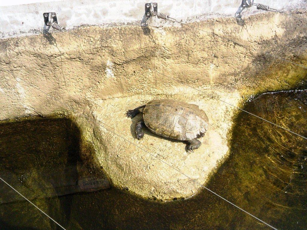 日本平動物園 は虫類館 クサガメ