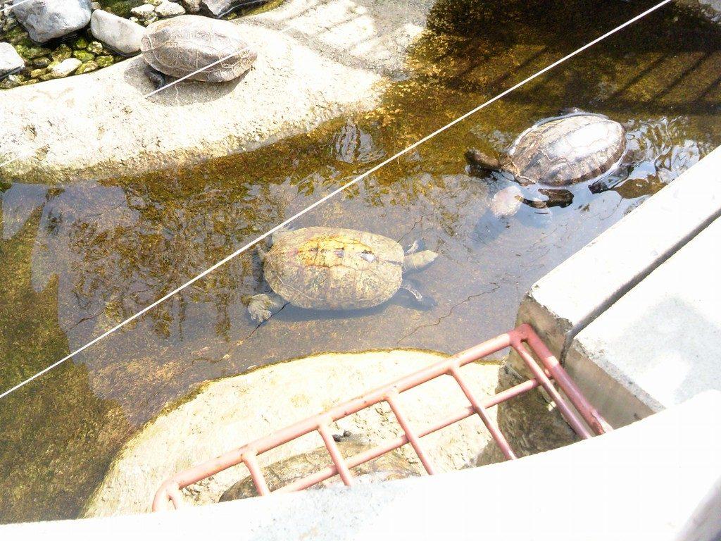 日本平動物園 は虫類館 ニホンイシガメ