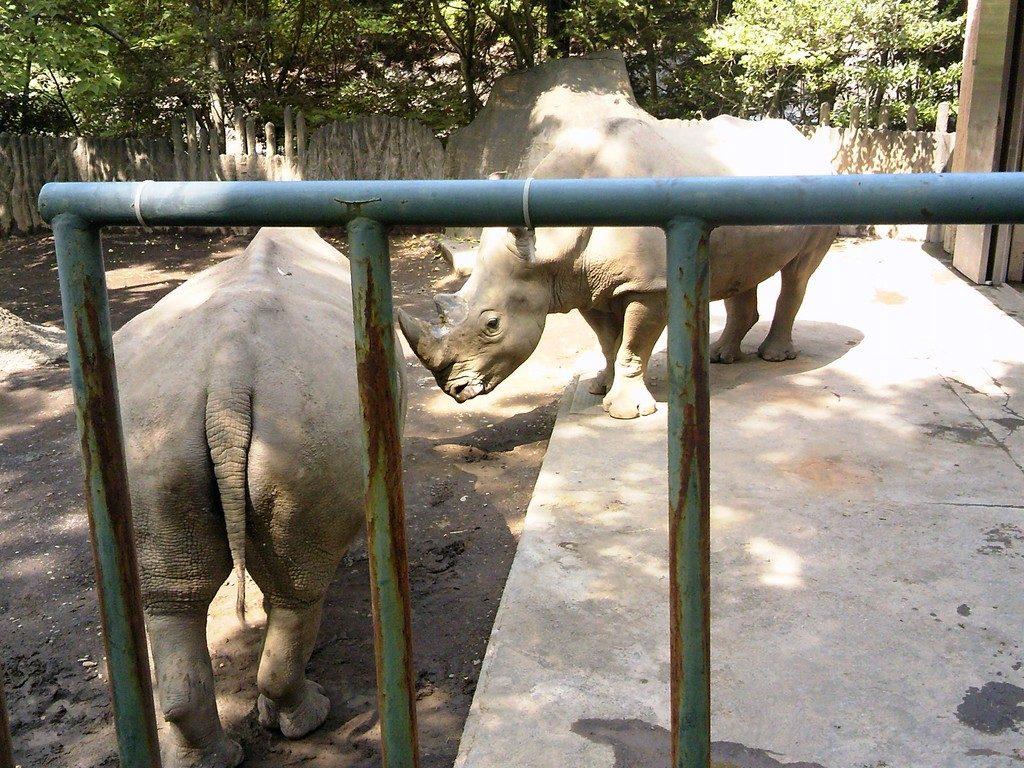 日本平動物園 草食獣舎 シロサイ2