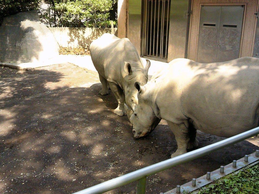 日本平動物園 草食獣舎 シロサイ3