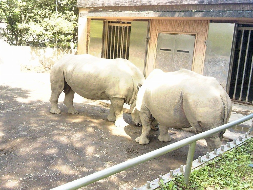 日本平動物園 草食獣舎 シロサイ4