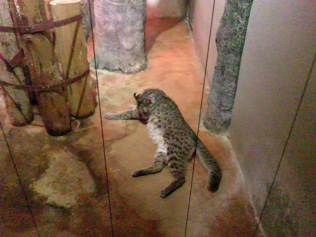 日本平動物園 夜行性動物館 アムールヤマネコ2