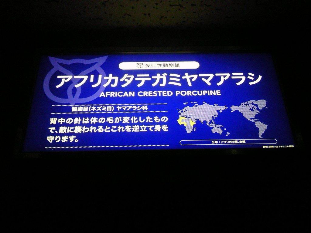 日本平動物園 夜行性動物館 アフリカタテガミヤマアラシ2