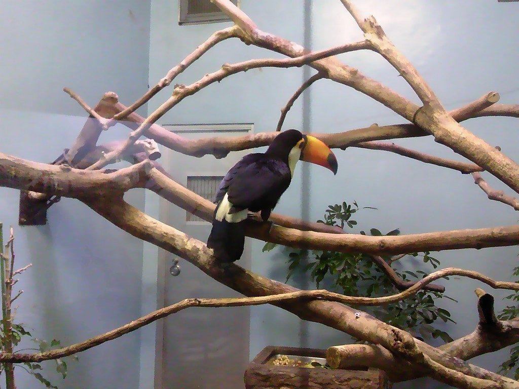 日本平動物園 熱帯鳥類館 オニオオハシ