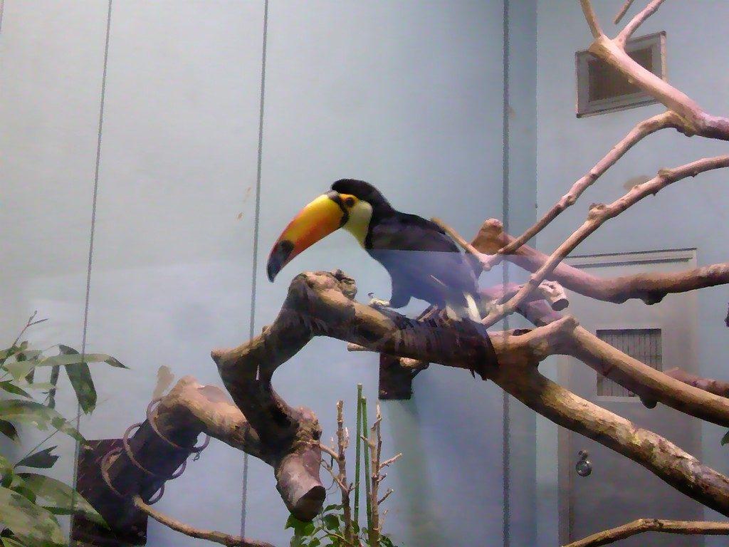 日本平動物園 熱帯鳥類館 オニオオハシ3