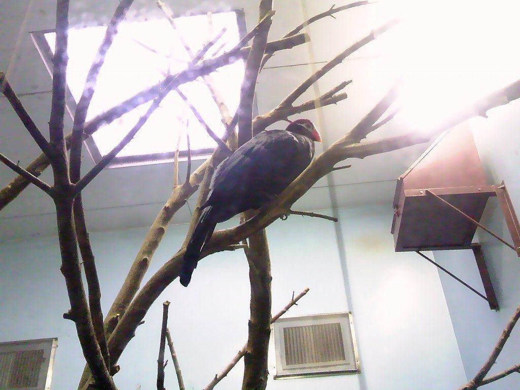 日本平動物園 熱帯鳥類館 ニシムラサキエボシドリ