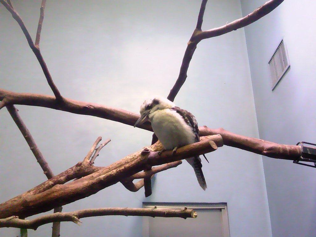 日本平動物園 熱帯鳥類館 ワライカワセミ