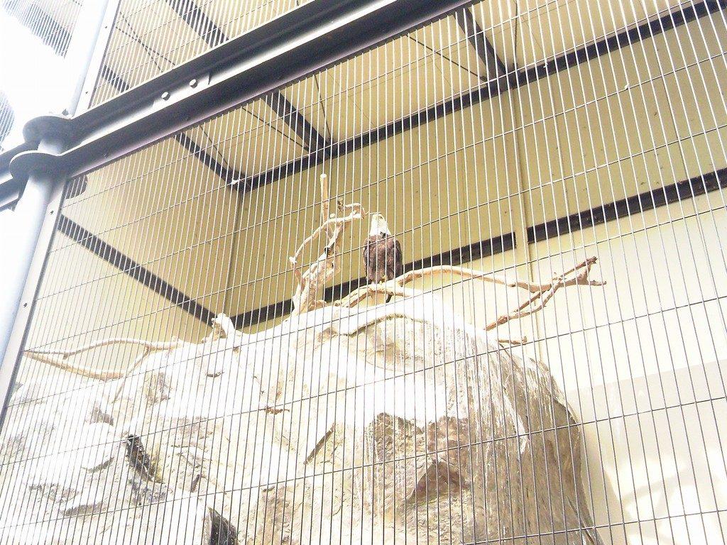 日本平動物園 熱帯鳥類館 ハクトウワシ