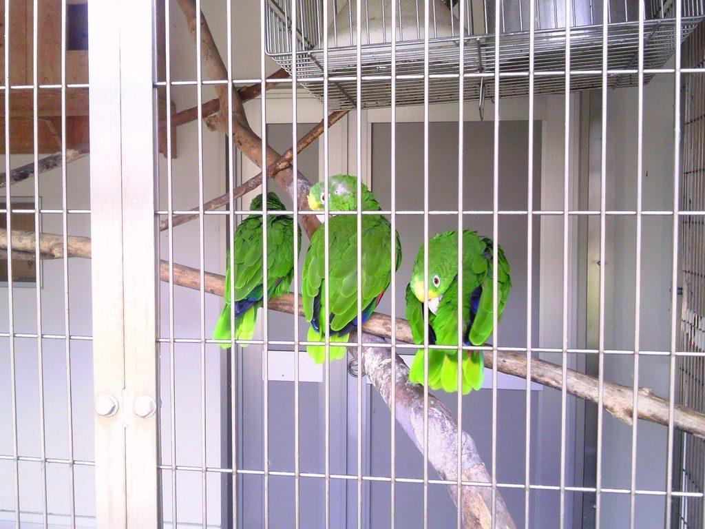 日本平動物園 ふれあい動物園 キビタイボウシインコ2