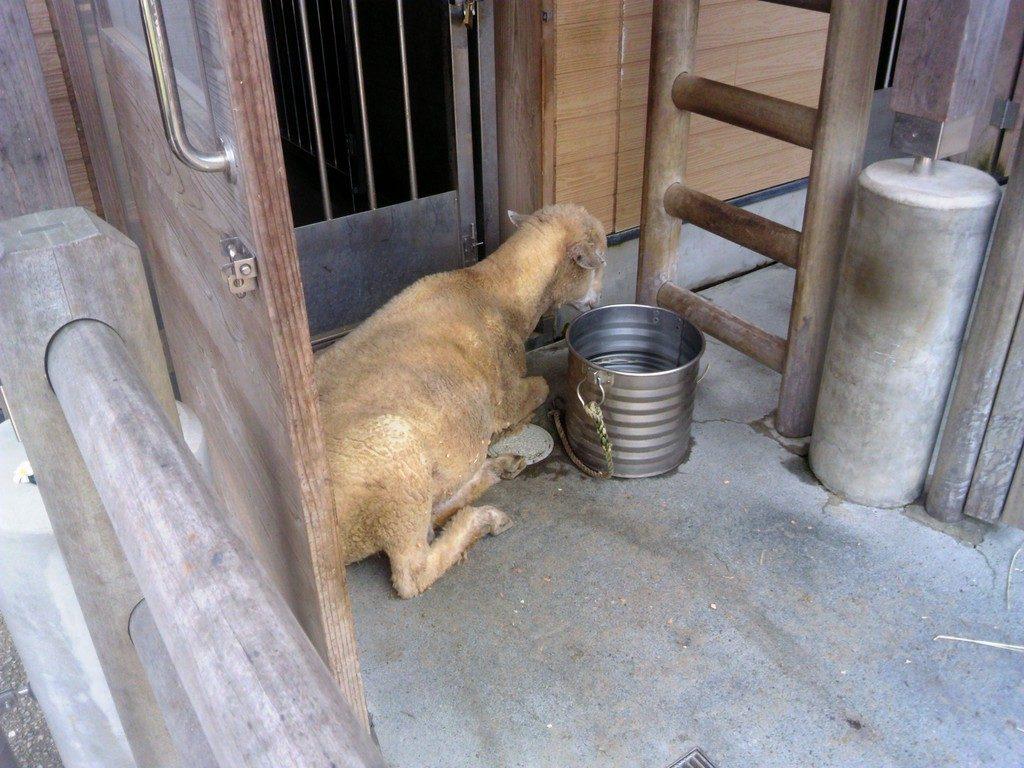 日本平動物園 ふれあい動物園 ヒツジ