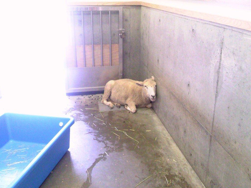 日本平動物園 ふれあい動物園 ヒツジ2