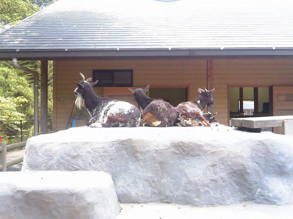 日本平動物園 ふれあい動物園 ヤギ3